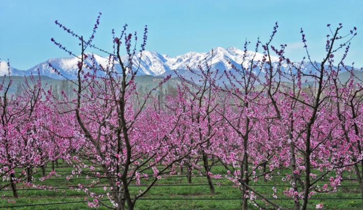Arbres fruitiers et Canigou